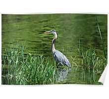 Patient Fisher - Gr  Blue Heron Poster