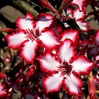Impala Lily by Graeme  Hyde