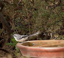 'Grey Fantail!'  Another Autumn Visitor. 'Arilka' Adelaide hills. by Rita Blom