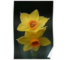Daffodils, Mount Lofty Botanic Gardens Poster