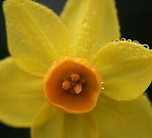 Daffodil, Mount Lofty Botanic Gardens by Leigh Penfold