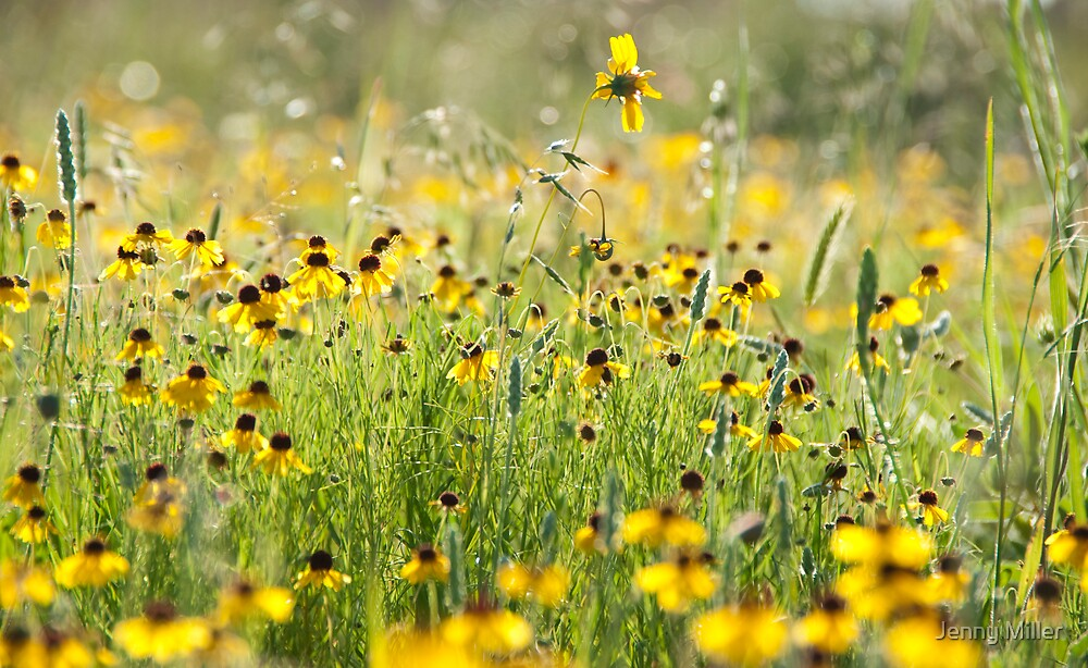 Field of Yellow by Jenny Miller