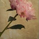 Pink Peony by FelicityB