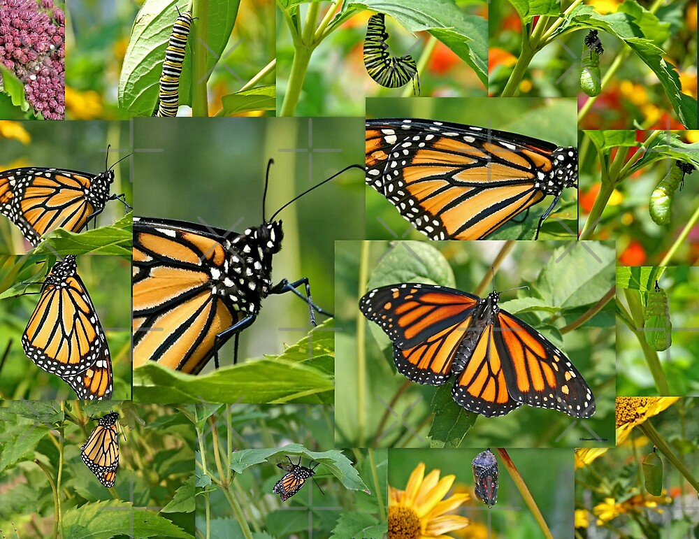 Life Cycle of the Monarch Butterfly Collage by Vickie Emms
