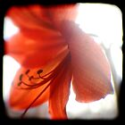 amaryllis ttv by Adam Graham