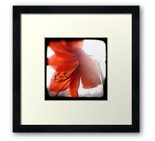 amaryllis ttv Framed Print