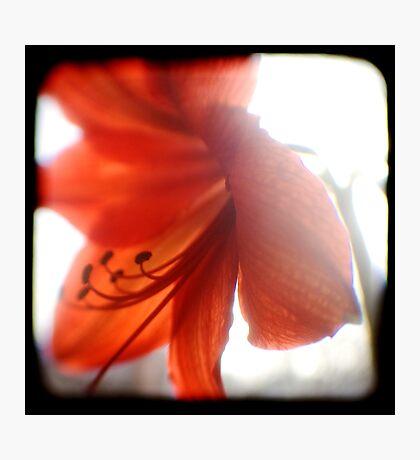 amaryllis ttv Photographic Print