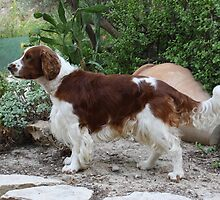 Furry English Springer Spaniel by welovethedogs