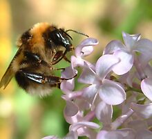 Bumble Bee on Lavender by hotpotato