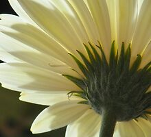 Gerbera by Nancy Barrett