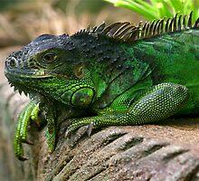 Iguana Life is Good by dazlm
