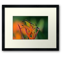 Olive Backed Sunbird, Penang Malaysia Framed Print