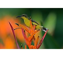 Olive Backed Sunbird, Penang Malaysia Photographic Print