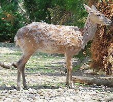 Sika Deer by Starlightphoto