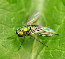 Long-Legged Fly  by PamelaJoPhoto