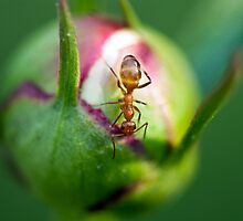 The Peony and the Ant by Amanda Keaton