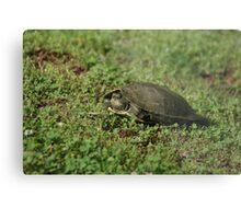 Shy Turtle Metal Print