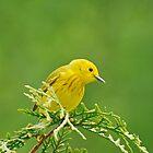Little Yellow Warbler - Male by Lynda   McDonald