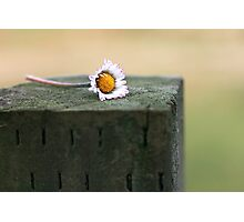 Daisy in a Narrow Depth of Field Photographic Print