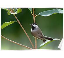 Chickadee in Sweet Olive Poster