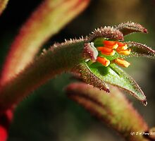 Kangaroo Paws by Eve Parry