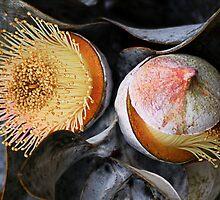 Eucalyptus macrocarpa Mottleecah by Eve Parry