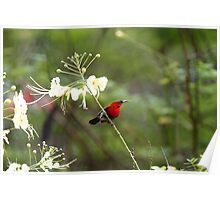 Crimson Sunbird Poster