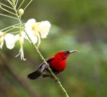 Crimson Sunbird Sticker