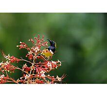 Olive-backed Sunbird Photographic Print
