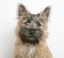 Well-trained Cairn Terrier by welovethedogs