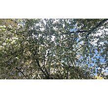 White Blossom Tree Photographic Print