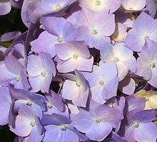 Pretty lilac hydrangea by Julie Haydon