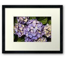 Pretty lilac hydrangea Framed Print