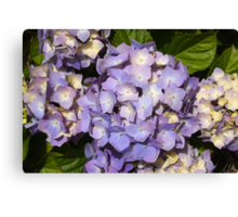 Pretty lilac hydrangea Canvas Print