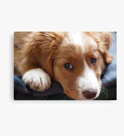 Puppy gazing at photographer Canvas Print