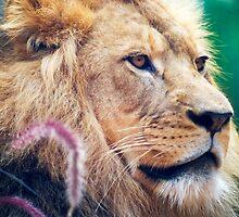 Taronga Lion by Nathan T