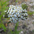 Yarrow - Budding Achillea millefolium  by Tracy Wazny