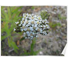 Yarrow - Budding Achillea millefolium  Poster