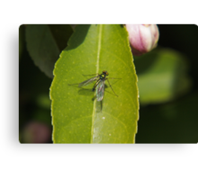 Winged insect on leaf Canvas Print