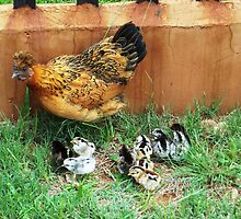 Farm talk - Mommy Bobby and her clutch of 10 - Maree by Maree  Clarkson