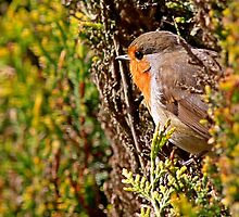 European Robin - Erithacus Rubecula - Robin Red Breast in hedge by Robert Flynn