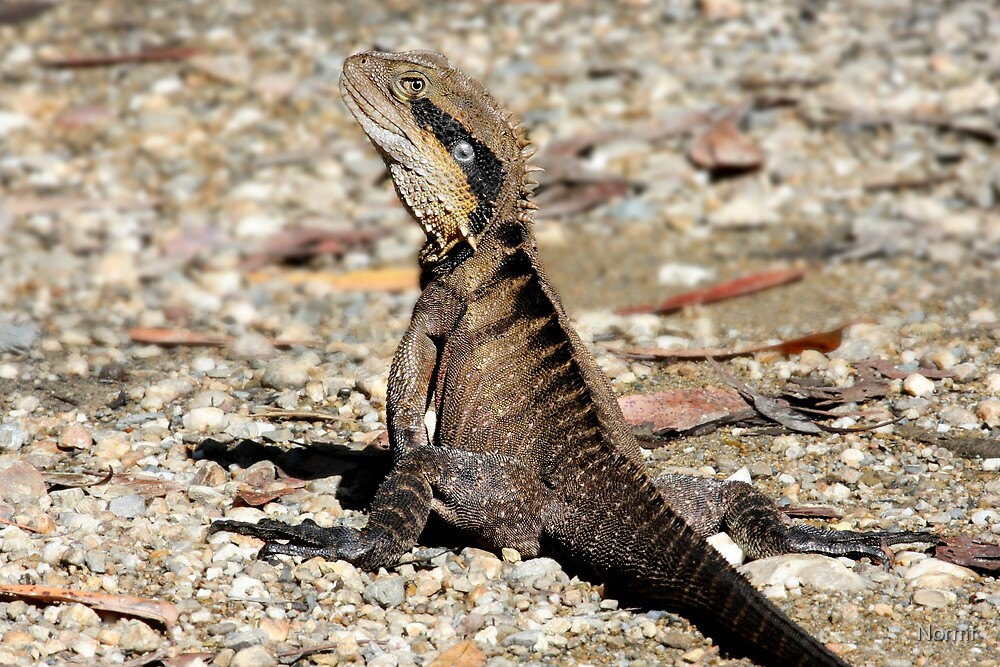 Bush Land Water Dragon - Physignathus lesueurii lesueurii  by Normf