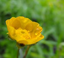 Meadow Buttercup -Ranunculus acris  by Tracy Wazny