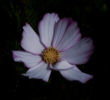 Cosmos Daisy by Pamela Jayne Smith