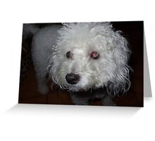 Beautiful Poodle Toy Greeting Card
