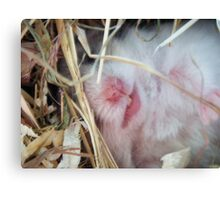 the hamster. Canvas Print