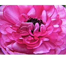 Pink Pedals Unfurling Photographic Print