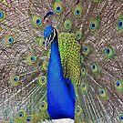 Modest Peacock by raptornurse