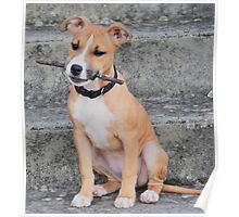 Young American Staffordshire Bull Terrier Poster