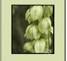 Yucca Bloom by ChrisBaker